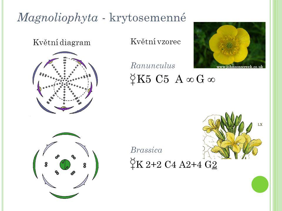 Magnoliophyta - krytosemenné