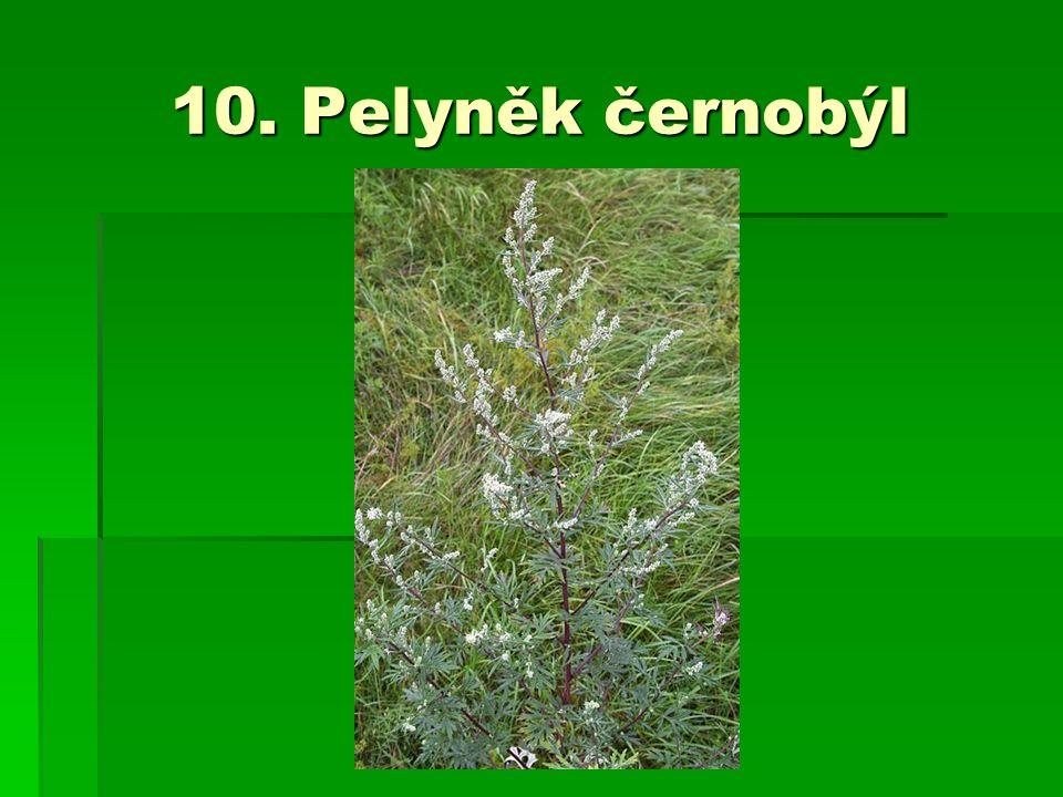 10. Pelyněk černobýl