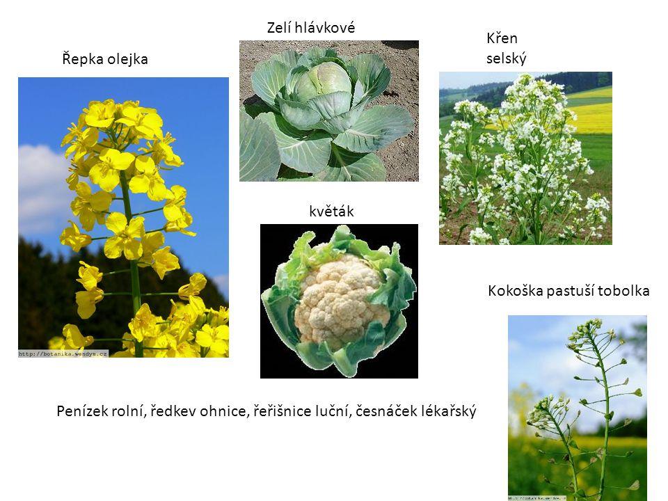 Zelí hlávkové Křen selský. Řepka olejka. květák.