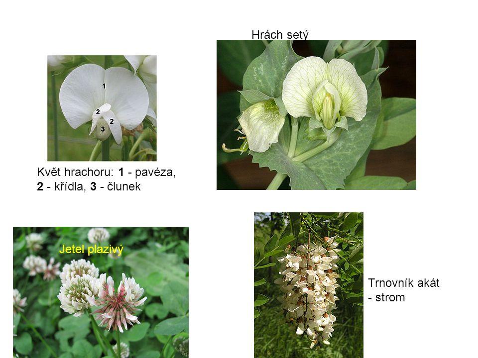 Hrách setý Květ hrachoru: 1 - pavéza, 2 - křídla, 3 - člunek Jetel plazivý Trnovník akát - strom