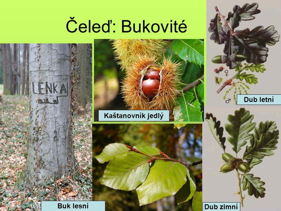 Čeleď: Bukovité Dub letní Kaštanovník jedlý Buk lesní Dub zimní