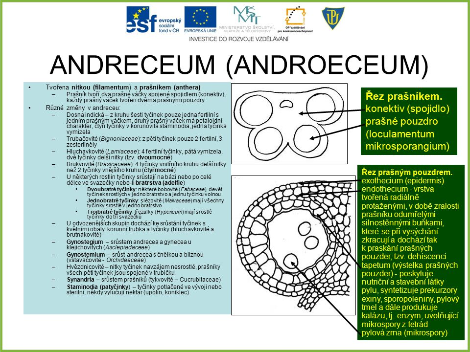 ANDRECEUM (ANDROECEUM)