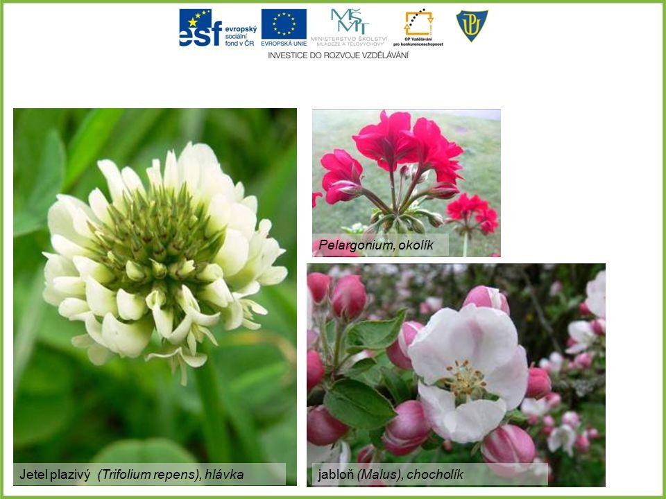 Pelargonium, okolík Jetel plazivý (Trifolium repens), hlávka jabloň (Malus), chocholík