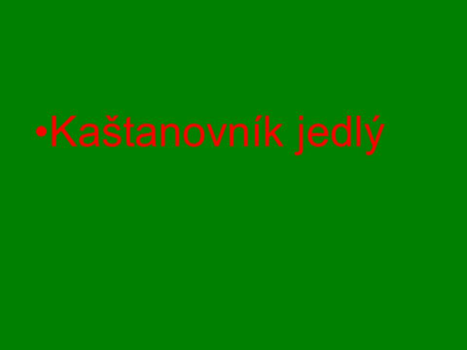Kaštanovník jedlý