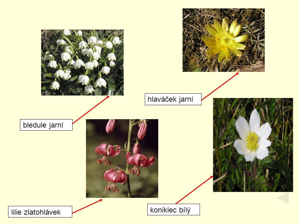 hlaváček jarní bledule jarní koniklec bílý lilie zlatohlávek