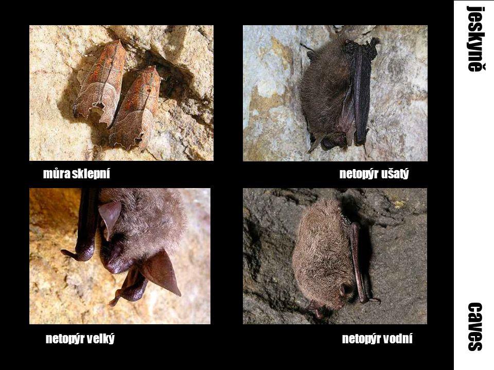 jeskyně caves můra sklepní netopýr ušatý netopýr velký netopýr vodní