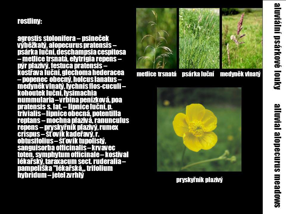 aluviální psárkové louky alluvial alopecurus meadows