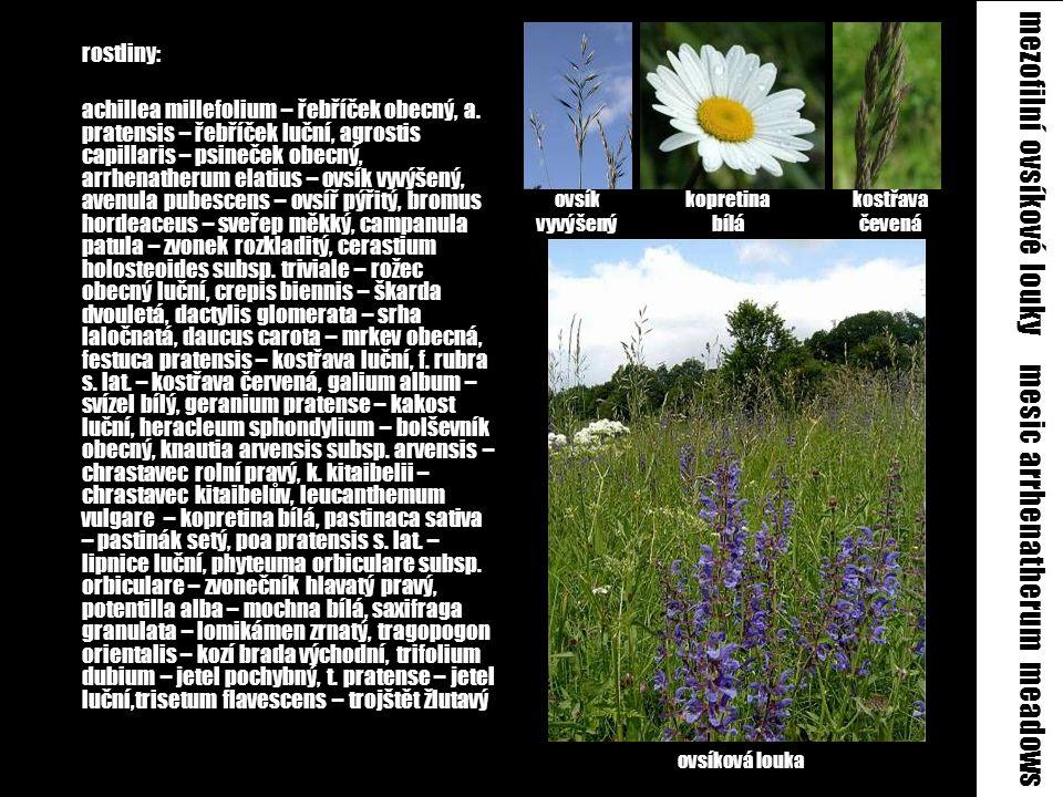 mezofilní ovsíkové louky mesic arrhenatherum meadows