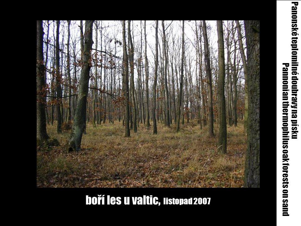 boří les u valtic, listopad 2007