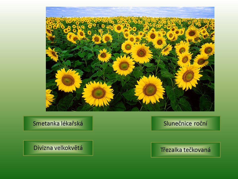 Smetanka lékařská Slunečnice roční Divizna velkokvětá Třezalka tečkovaná
