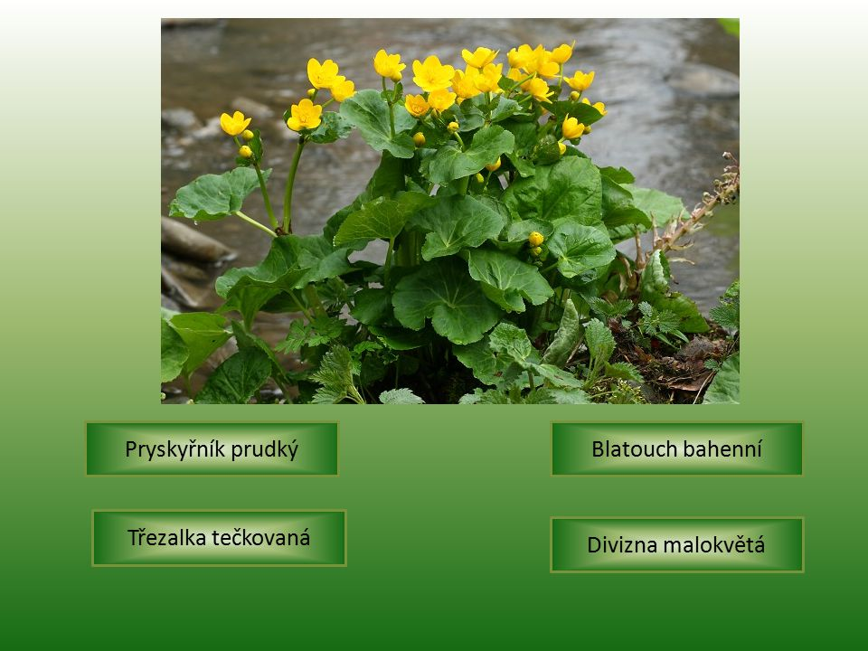 Pryskyřník prudký Blatouch bahenní Třezalka tečkovaná Divizna malokvětá