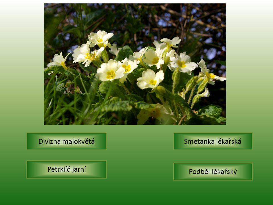 Divizna malokvětá Smetanka lékařská Petrklíč jarní Podběl lékařský