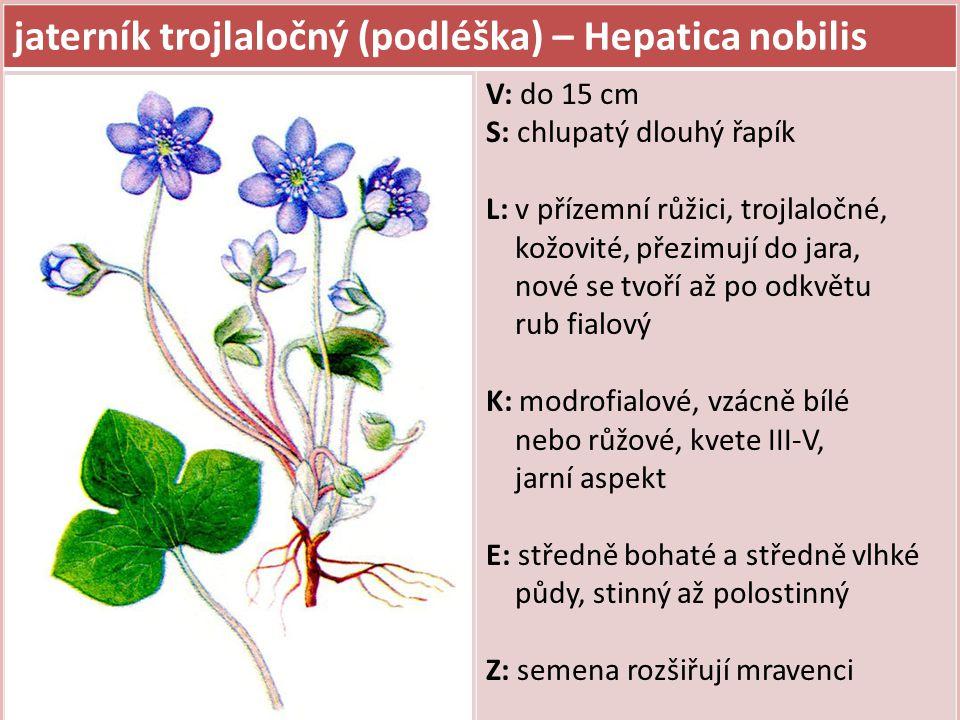 jaterník trojlaločný (podléška) – Hepatica nobilis