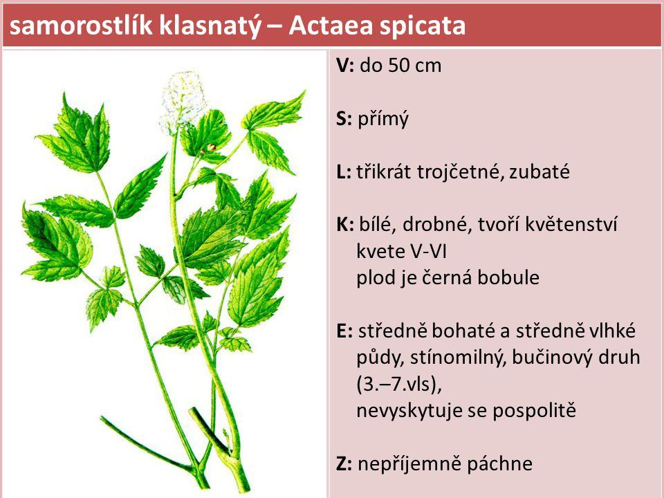 samorostlík klasnatý – Actaea spicata