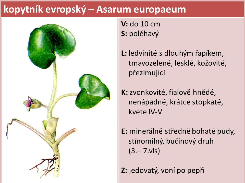 kopytník evropský – Asarum europaeum