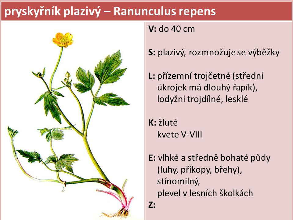pryskyřník plazivý – Ranunculus repens