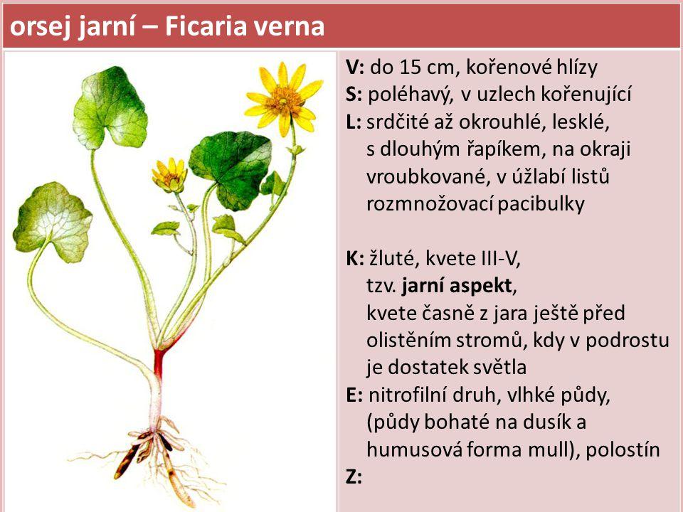 orsej jarní – Ficaria verna