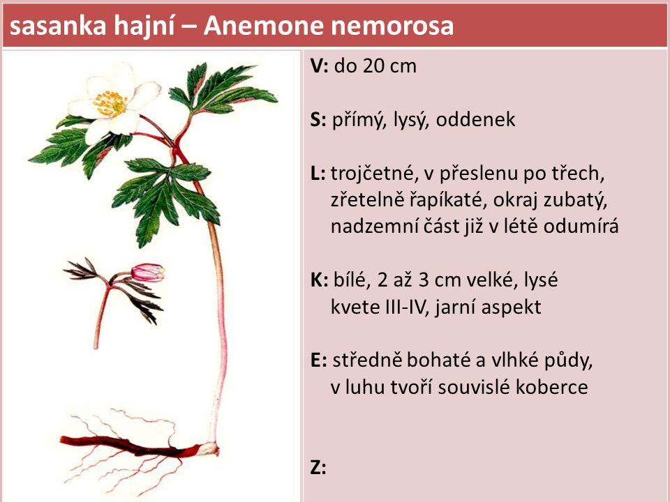 sasanka hajní – Anemone nemorosa