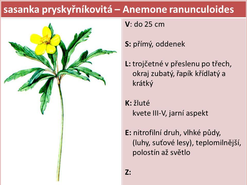 sasanka pryskyřníkovitá – Anemone ranunculoides