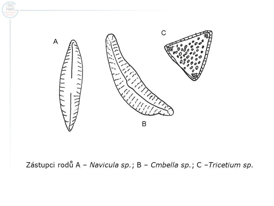 Zástupci rodů A – Navicula sp.; B – Cmbella sp.; C –Tricetium sp.