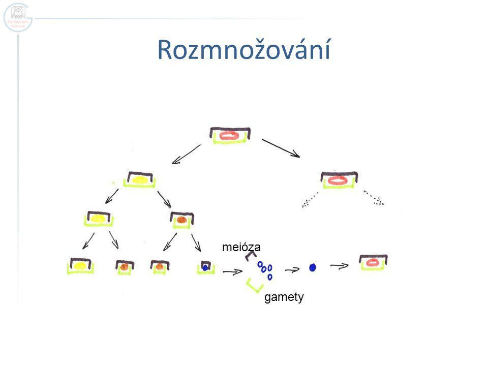 Rozmnožování meióza gamety