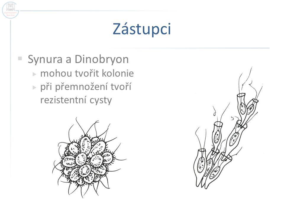 Zástupci Synura a Dinobryon mohou tvořit kolonie
