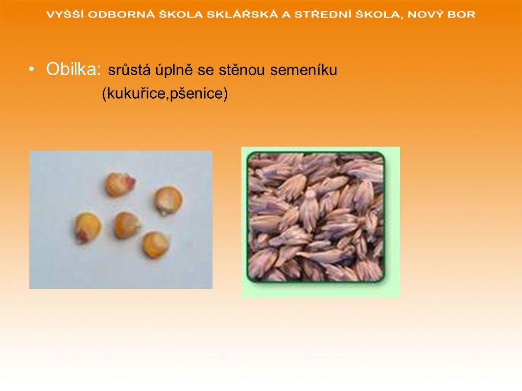 Obilka: srůstá úplně se stěnou semeníku