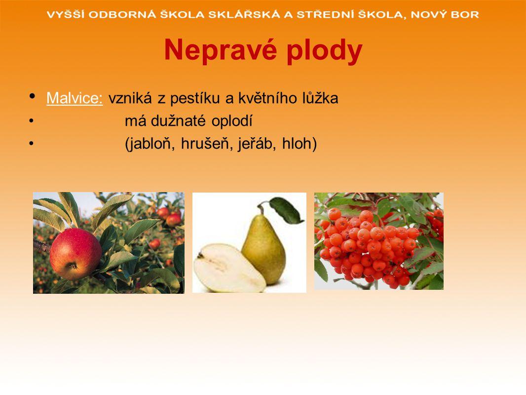 Nepravé plody Malvice: vzniká z pestíku a květního lůžka