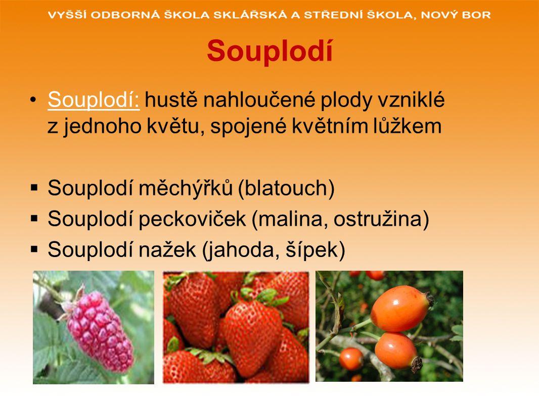 Souplodí Souplodí: hustě nahloučené plody vzniklé z jednoho květu, spojené květním lůžkem. Souplodí měchýřků (blatouch)