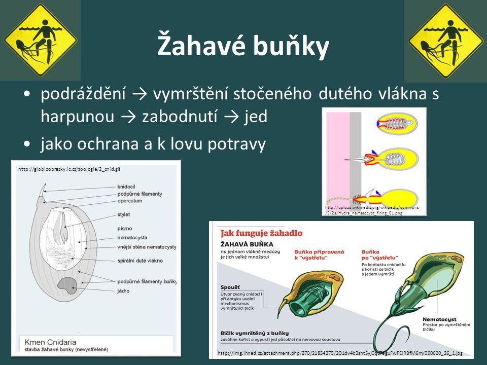 Žahavé buňky podráždění → vymrštění stočeného dutého vlákna s harpunou → zabodnutí → jed video. jako ochrana a k lovu potravy.