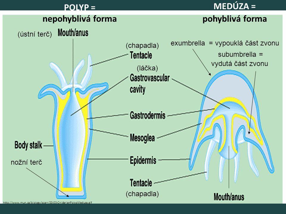 POLYP = nepohyblivá forma MEDÚZA = pohyblivá forma