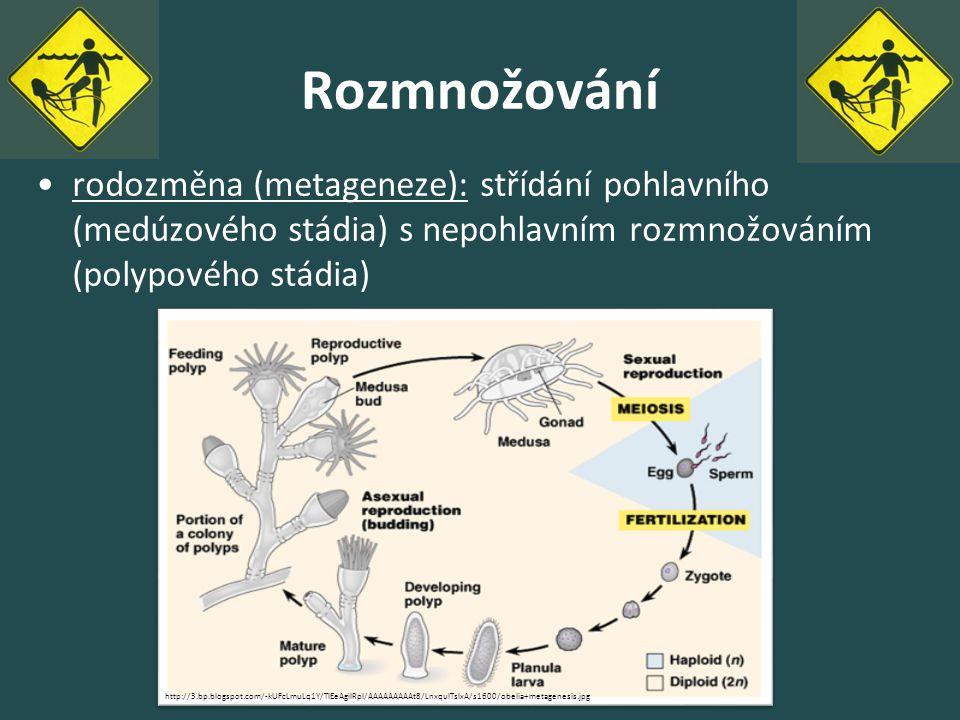 Rozmnožování rodozměna (metageneze): střídání pohlavního (medúzového stádia) s nepohlavním rozmnožováním (polypového stádia)
