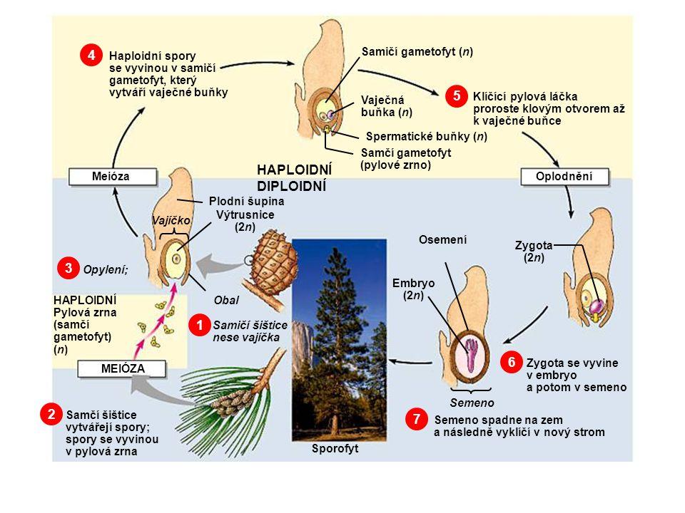 4 5 HAPLOIDNÍ DIPLOIDNÍ 3 1 6 2 7 Samičí gametofyt (n) Haploidní spory