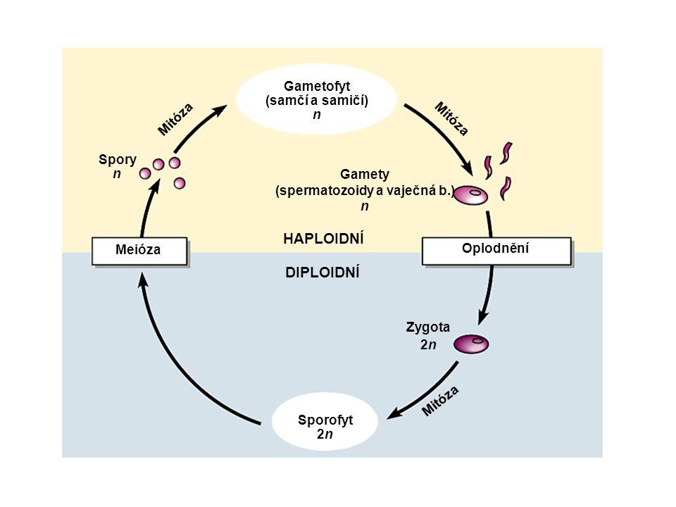 Gametofyt (samčí a samičí) n Gamety (spermatozoidy a vaječná b.) n