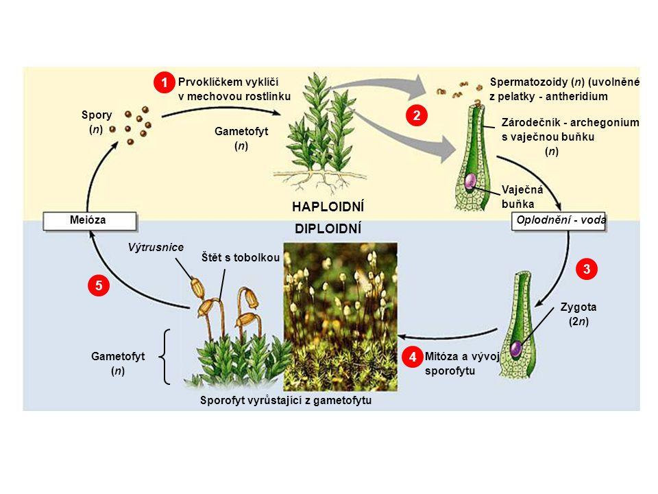 Sporofyt vyrůstající z gametofytu