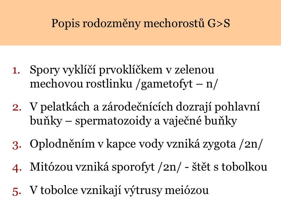 Popis rodozměny mechorostů G>S
