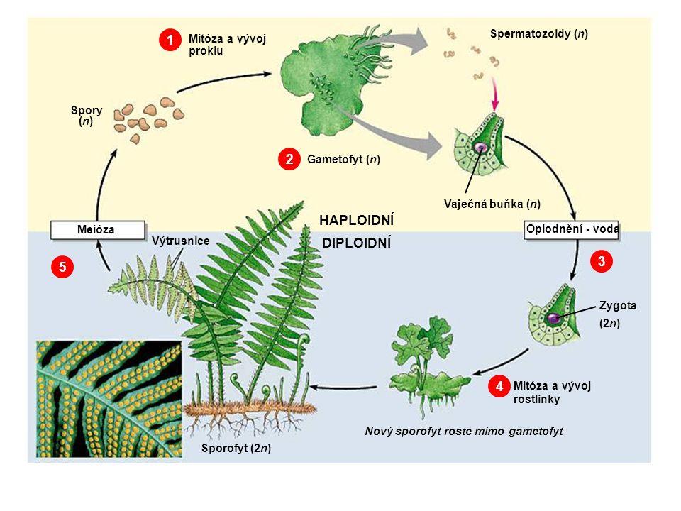 1 2 HAPLOIDNÍ DIPLOIDNÍ 3 5 4 Spermatozoidy (n) Mitóza a vývoj proklu