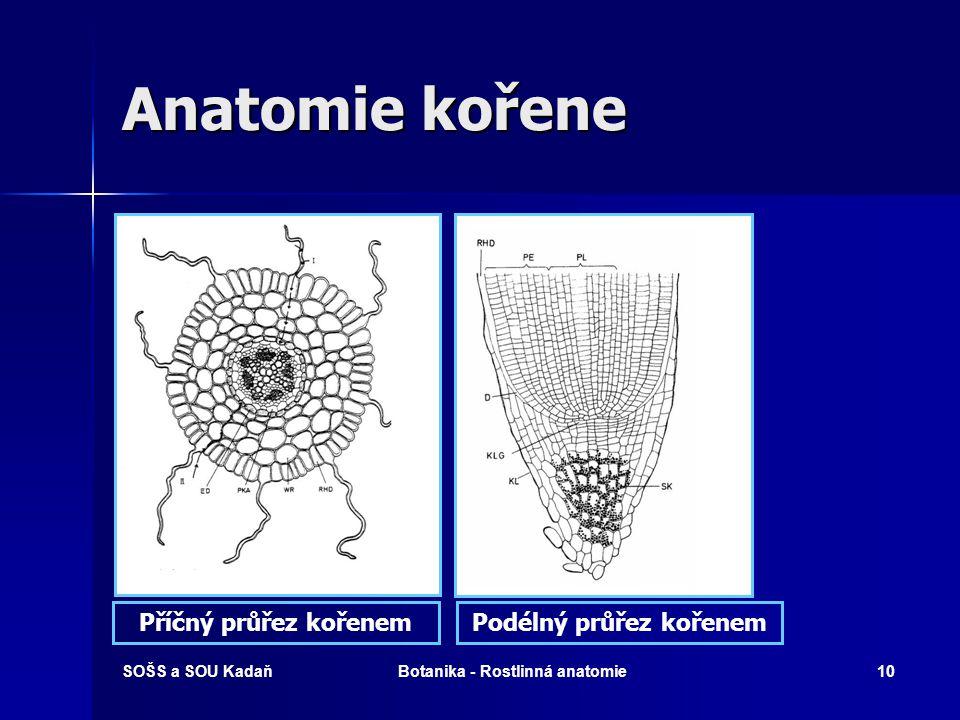 Podélný průřez kořenem Botanika - Rostlinná anatomie