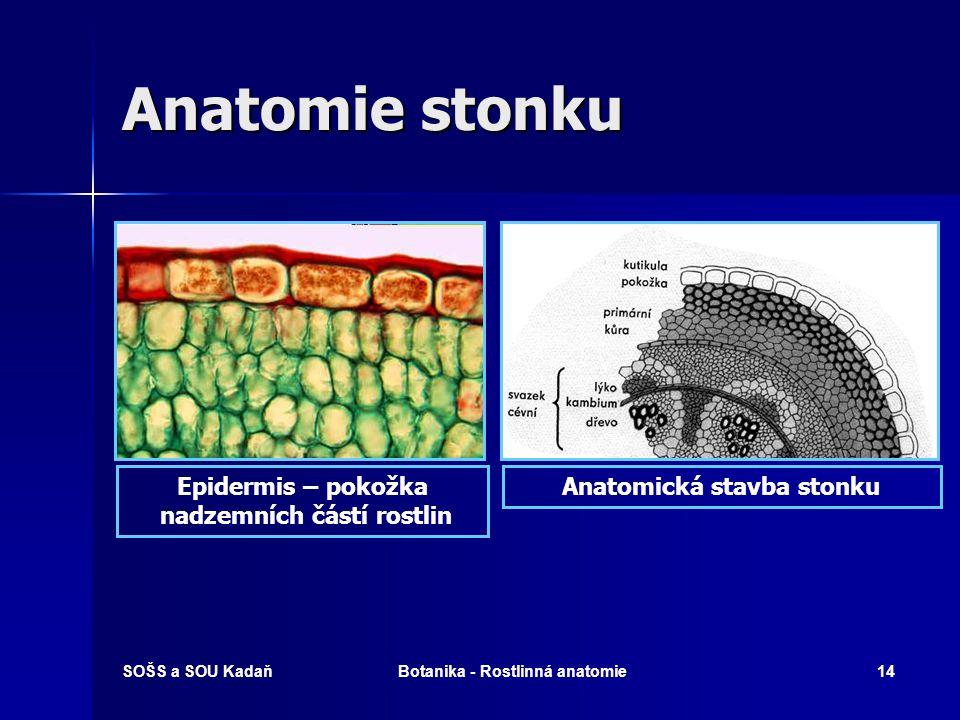 Anatomie stonku Epidermis – pokožka nadzemních částí rostlin