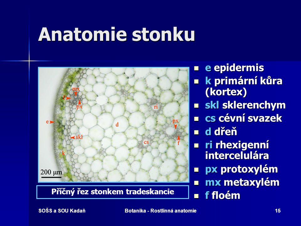 Příčný řez stonkem tradeskancie Botanika - Rostlinná anatomie