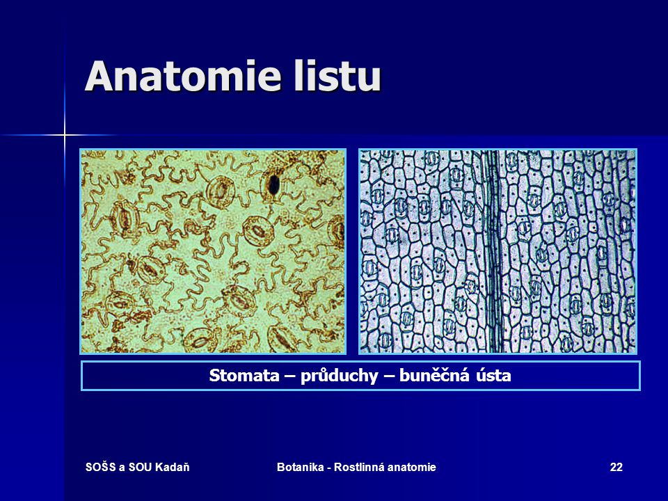 Stomata – průduchy – buněčná ústa Botanika - Rostlinná anatomie