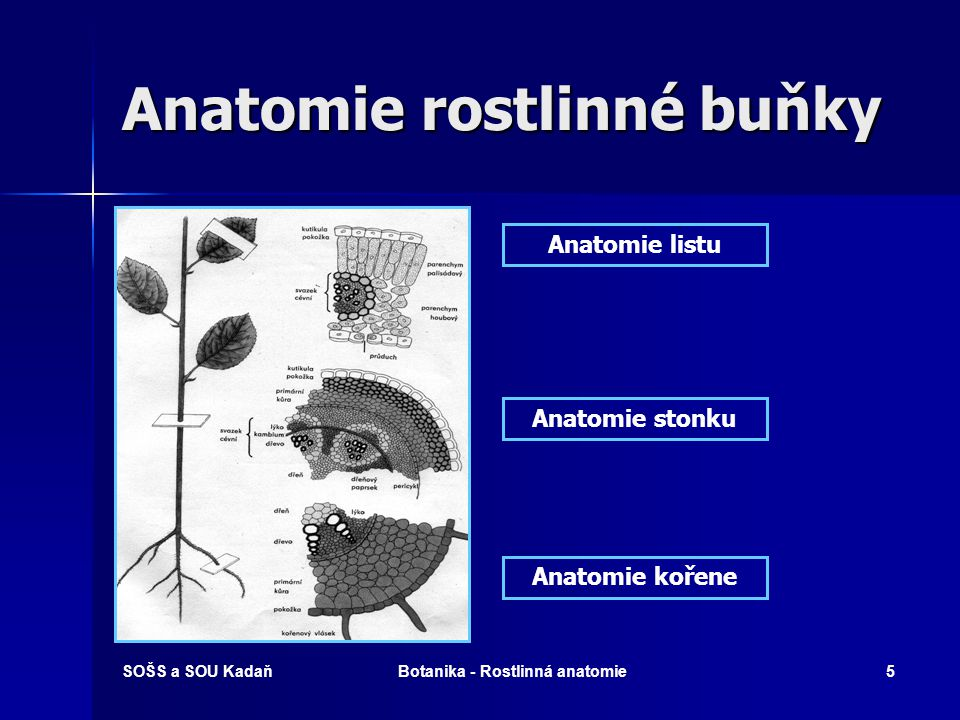 Anatomie rostlinné buňky