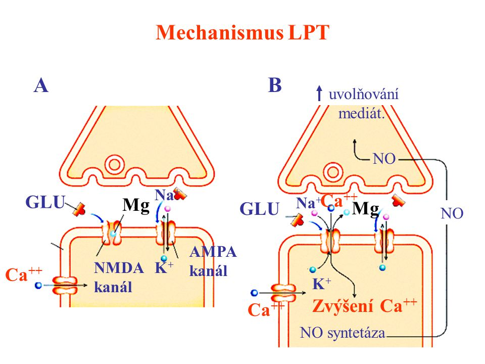 Mechanismus LPT A B GLU Ca++ Mg GLU Mg Ca++ Zvýšení Ca++ Ca++