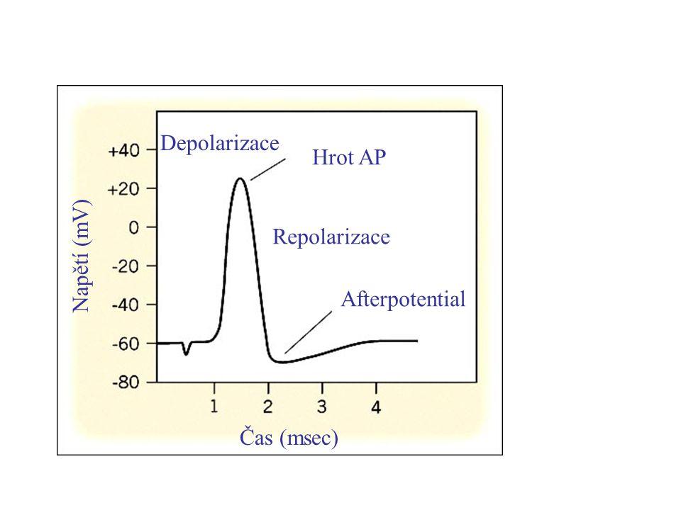 Depolarizace Hrot AP Repolarizace Napětí (mV) Afterpotential Čas (msec)