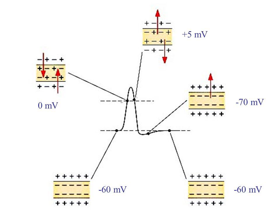 +5 mV -70 mV 0 mV -60 mV -60 mV