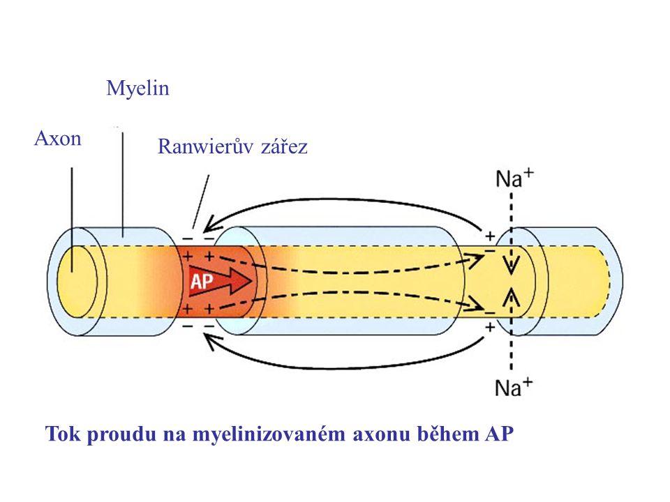 Myelin Axon Ranwierův zářez Tok proudu na myelinizovaném axonu během AP