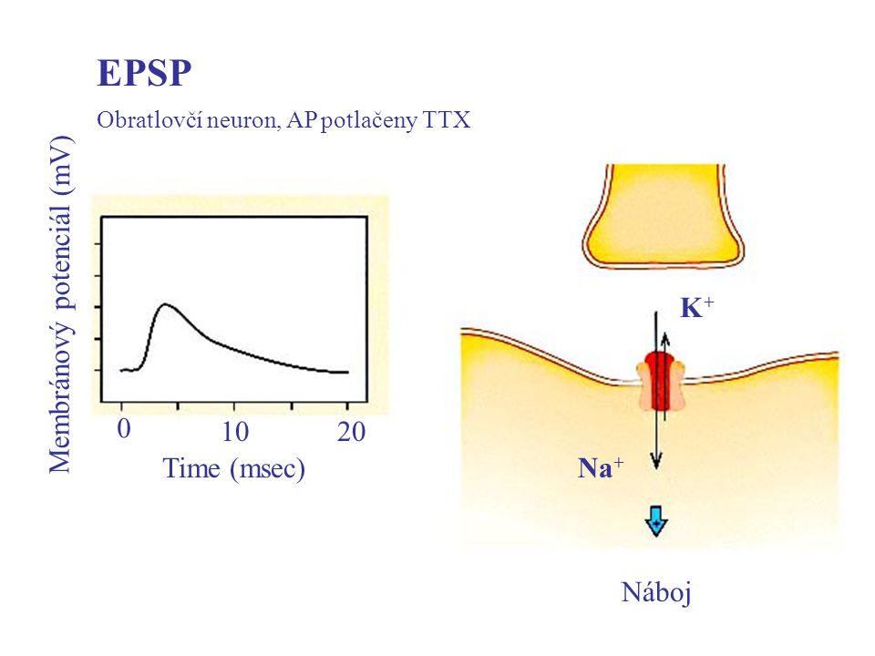 EPSP Time (msec) 10 20 Membránový potenciál (mV) Náboj Na+ K+