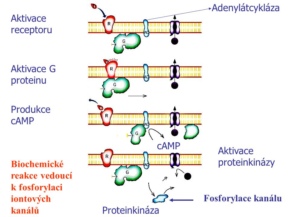 Adenylátcykláza Aktivace receptoru. GDP. Aktivace G proteinu. GTP. Produkce cAMP. GTP. cAmp. ATP.