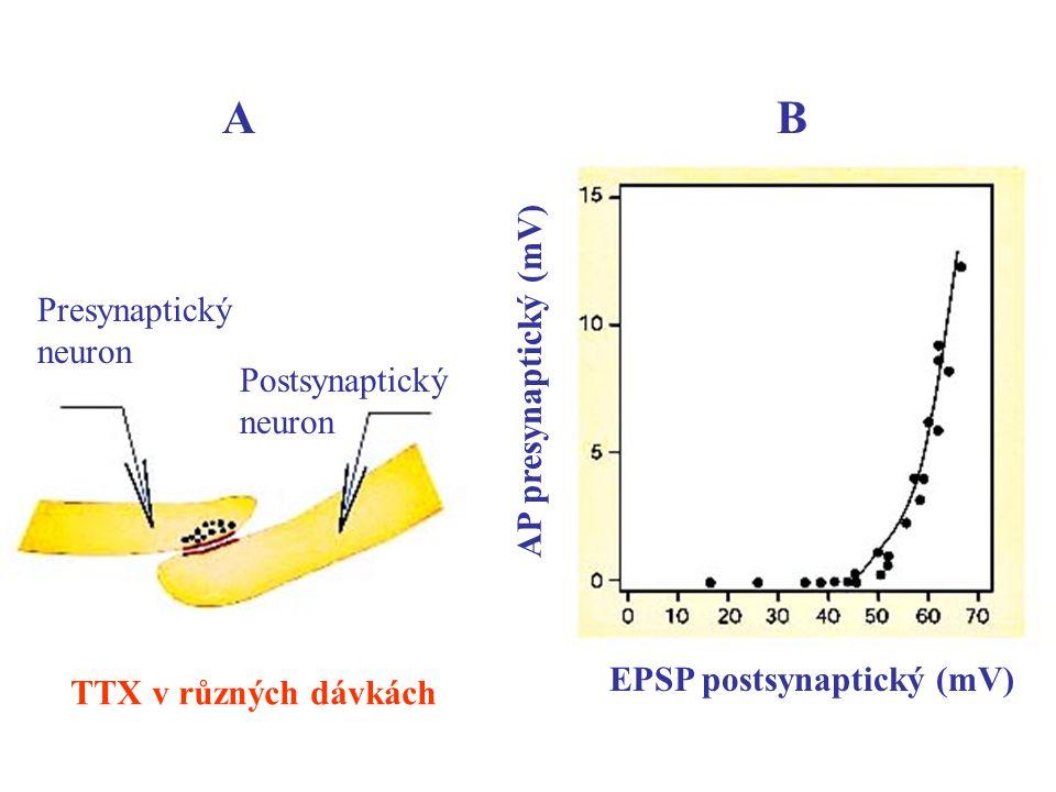 A B AP presynaptický (mV) Presynaptický neuron Postsynaptický neuron