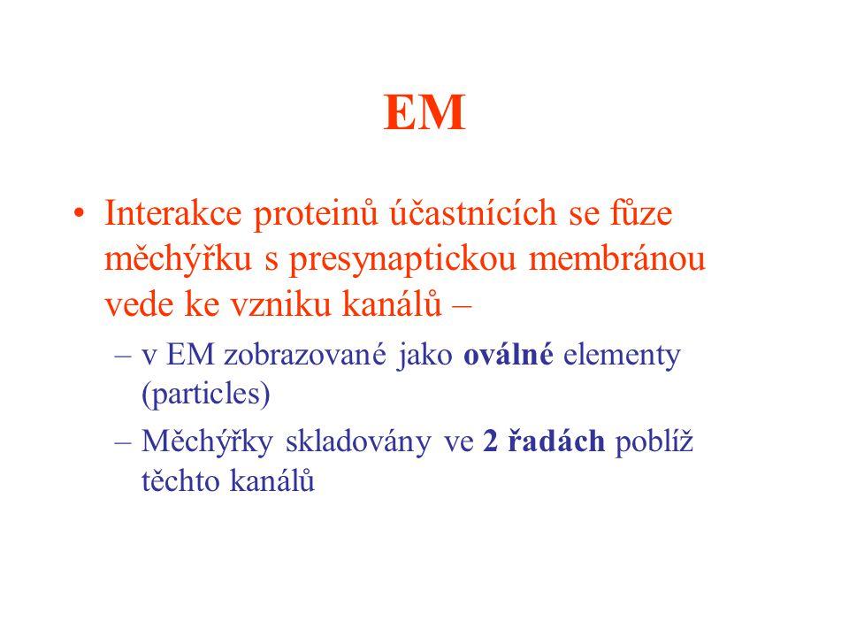 EM Interakce proteinů účastnících se fůze měchýřku s presynaptickou membránou vede ke vzniku kanálů –